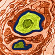 Nerve Cell, Tem Art Print