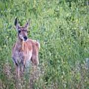 Pronghorn Antelope Portrait Art Print