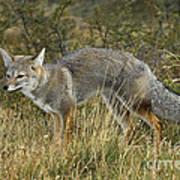 Patagonia Grey Fox Art Print