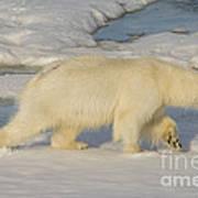Polar Bear Walking On Ice Art Print