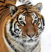 Tigre De Siberie Panthera Tigris Altaica Art Print