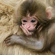 Baby Snow Monkey, Japan Art Print