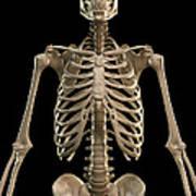 Bones Of The Upper Body Art Print