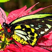 Cairns Birdwing Butterfly Art Print