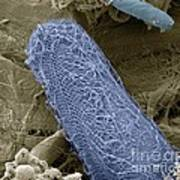 Ciliate Protozoan, Sem Art Print