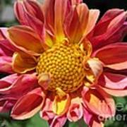 Dahlia From The Showpiece Mix Art Print