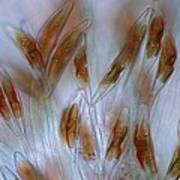 Diatoms, Light Micrograph Art Print