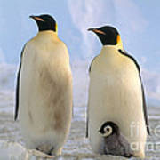 Emperor Penguins Art Print by Art Wolfe