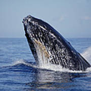 Humpback Whale Breaching Maui Hawaii Art Print