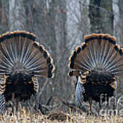 Jake Eastern Wild Turkeys Print by Linda Freshwaters Arndt