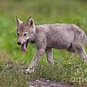 Timber Wolf Pup Art Print