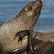 Antarctic Fur Seal Art Print