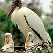 Wood Storks Art Print