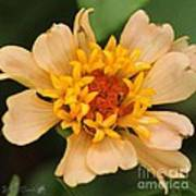 Zinnia From The Candy Mix Art Print