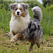 Australian Shepherd Dog Art Print