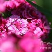 Sweet William From The Super Duplex Bluepoint Mix Art Print