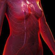 The Cardiovascular System Female Art Print