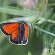 14 Balkan Copper Butterfly Art Print