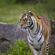 Siberian Tiger, China Art Print