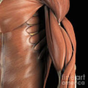 The Muscle System Art Print