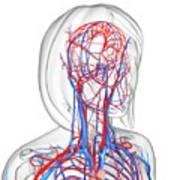 Female Cardiovascular System Art Print