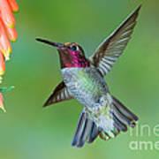 Annas Hummingbird Art Print