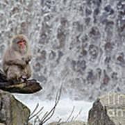 Snow Monkeys Art Print