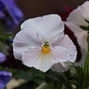 Viola Tricolor Heartsease Art Print