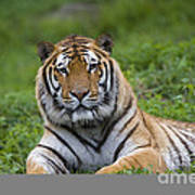 Siberian Tiger, China Art Print