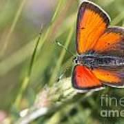17 Balkan Copper Butterfly Art Print
