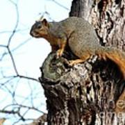 Eastern Fox Squirrel Art Print by Jack R Brock