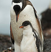 Gentoo Penguin With Young Art Print