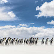King Penguin (aptenodytes Patagonicus Art Print