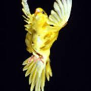 Perruche Ondulee Melopsittacus Undulatus Art Print