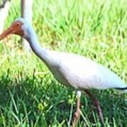 White Ibis Art Print