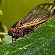 17 Year Cicada 3 Print by Lara Ellis