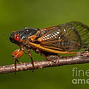 17-year Periodical Cicada I Art Print