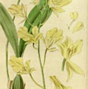 Botanical Print By Walter Hood Fitch 1817 – 1892 Art Print