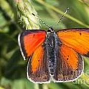 18 Balkan Copper Butterfly Art Print