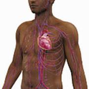 The Cardiovascular System Art Print