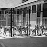 1930s Kennel Yard Full Of Foxhound Dogs Art Print