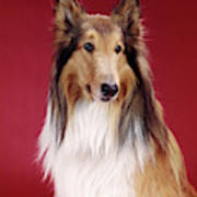 1960s Portrait Of Collie Dog On Red Art Print