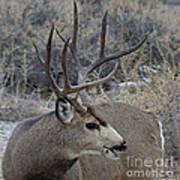 4x4 Mule Deer Buck Art Print