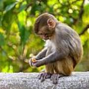 A Baby Macaque Eating An Orange Art Print