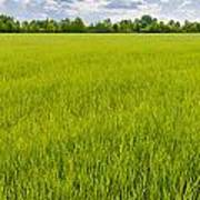 A Field Of Green Wheat Under A Cloudy Sky Art Print