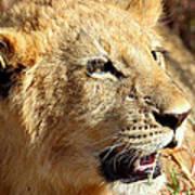 African Lion Cub Portrait Art Print