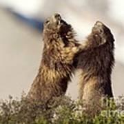 Alpine Marmot Art Print