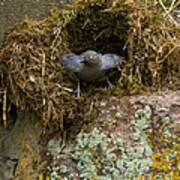 American Dipper And Nest   #1538 Art Print