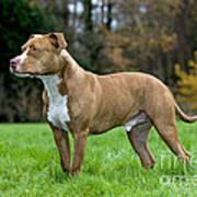 American Staffordshire Terrier Art Print