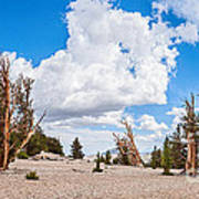 Ancient Panorama - Bristlecone Pine Forest Art Print